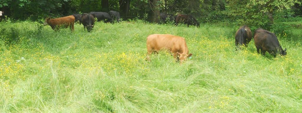 GrassKickin cows in long grass